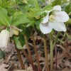 February Plant of the Month: Hellebore