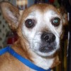 Avery is an 8 yr Old Neutered Male Chihuahua/Terrier Mix