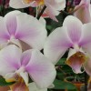 UT Gardens February 2015 Plant of the Month: Supermarket Orchid