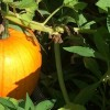 The Great Gourd Search: Tips to Pick Your Perfect Pumpkin