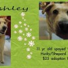 Ashley is an 11-Year-Old Spayed Female Husky/Shepherd Mix