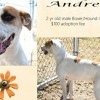 Andre is a 2-Year-Old Male Boxer/Hound Mix