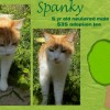 Spanky is a 5-Year-Old Neutered Male Cat