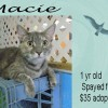 Macie is a 1-Year-Old Spayed Female Cat