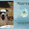 Marvin is a 5-Year-Old Male Boxer/Hound Mix