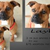 Layla is a 3-Year-Old Spayed Female Pit Mix