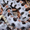 TWRA Conducts Research on Pygmy Rattlesnakes