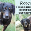 Roscoe is a 7-Year-Old Hound/Rott Mix