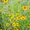 TWRA and Legacy Parks Planning Sunflower Festival This Saturday