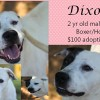 Dixon is a 2-Year-Old Male Boxer/Hound Mix