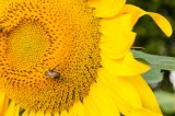 Bee Prepared: How to Treat a Bee Sting
