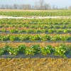 Plunging Temperatures Have Strawberry Farmers Covering Crops