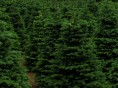 Find the Holiday Spirit at Tennessee Christmas Tree Farms