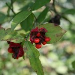 "Euonymus americanus, commonly known in some parts of the country as strawberry bush or ""Hearts-a-Bustin,"" has fiery-red seeds that can persist late into the year and add splashes of red to the late-season landscape. Photo by Jeran B. Guffey."