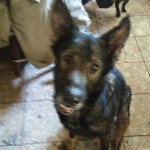 Missing Dog Diamant German Shepherd 1 08072017