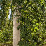 A key ingredient in beer, hops is a specialty crop that is not widely grown in Tennessee. A new workshop offered by UT Extension will aquaint producers with the challenges and potential rewards offered by the crop. The photo above shows a hops production system in Oregon. Photo by S. Ausmus, USDA-ARS D997-1.​