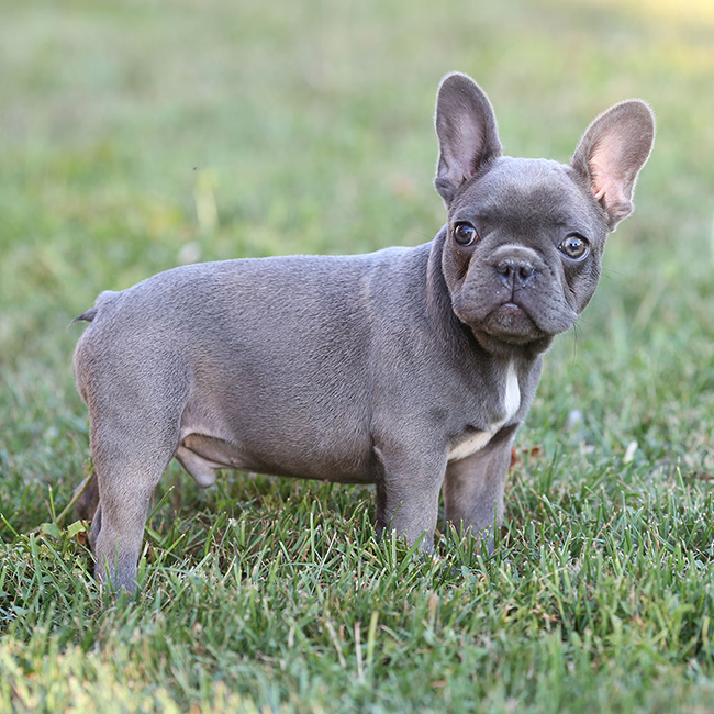 Bruno Meet Our Beautiful French Bulldog